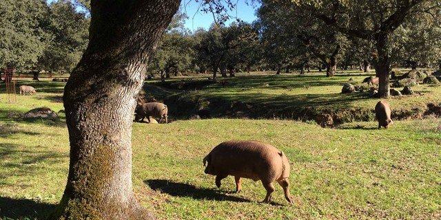 Hogs pasturing in a dehesa