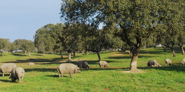 Hogs pasturing in a dehesa