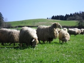 Sheep of the Latxa breed