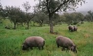 Pigs pasturing in a Jabugo dehesa