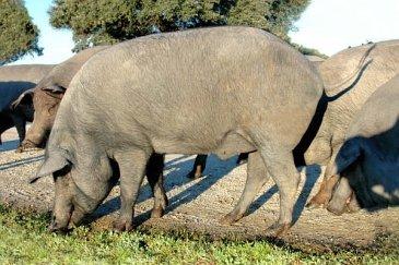 Black iberico hog (Retinto variety)